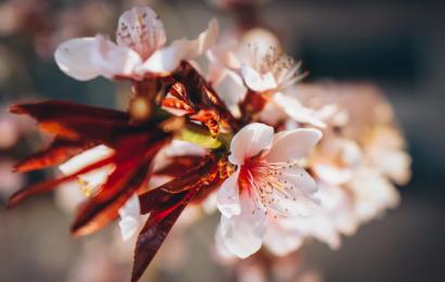 La fioritura a Fukushima